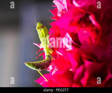 Macro shot of a praying mantis on a pink Bougainvillea - Stock Photo