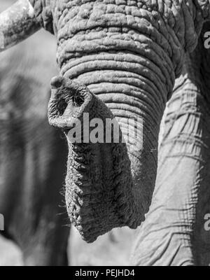 Close up of trunk of African elephant, Khwai Private Reserve elephant blind, Okavango Delta, Botswana - Stock Photo