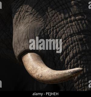 Close up of face of African elephant, Khwai Private Reserve elephant blind, Okavango Delta, Botswana - Stock Photo