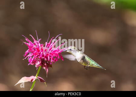 A Ruby-throated hummingbird hovers while feeding from a bee balm flower - Stock Photo