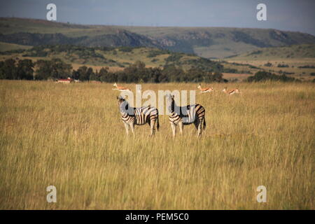 Zebras in field with Springbok, hills and forests in background - Stock Photo