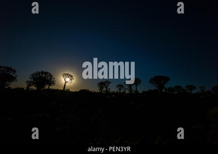 Moon and silhouetted quiver trees, Aloidendron dichotomum, in the scenic Quiver Tree Forest, Keetmanshoop, !Karas Region, Namibia. - Stock Photo