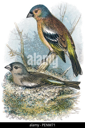 1898 colour engraving of male and female chaffinches (Fringilla coelebs.) - Stock Photo