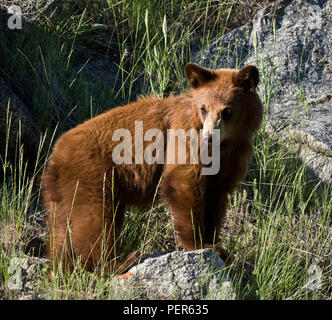 Juvenile Black Bear standing in the evening sun in Yellowstone National Park - Stock Photo