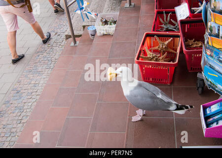 Seagull eating a bread roll standing on a tile floor in the doorway of a souvenir store - Stock Photo