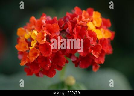 Two clusters of Lantana camara flowers - Stock Photo