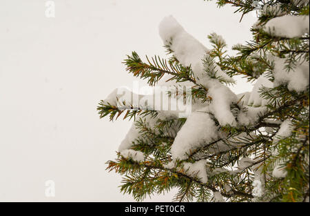 Snow covered branches on a Christmas tree - Stock Photo