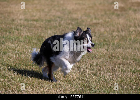 Border Collie dog Canis lupus familiaris in familiar outrun prior to rounding up sheep - Stock Photo