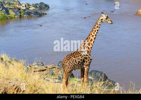 Tall male Masai giraffe (Giraffa camelopardalis tippelskirchi) uses his long neck to look out over the Mara River from the riverbank, Masai Mara Kenya - Stock Photo