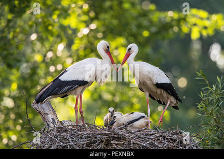 White Stork (Ciconia ciconia) pair on nest with chicks, Baden-Wuerttemberg, Germany - Stock Photo