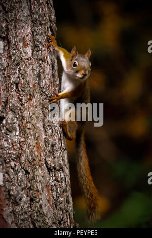 American red squirrel (Tamiasciurus hudsonicus) hanging on side of a tree trunk. - Stock Photo