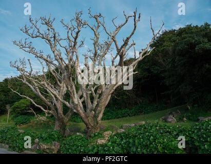 Ein Kahler Baum, mitten am Waldrand von Naha. - Stock Photo