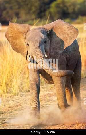 angry Elephant at South Luangwa National Park, Zambia, (Loxodo - Stock Photo