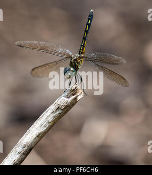 A dragonfly rests in the sun - Stock Photo