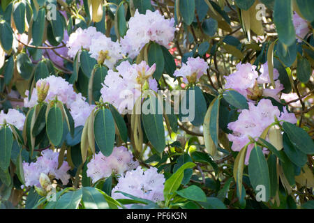 a closeup shot of pink rhododendrons - Stock Photo
