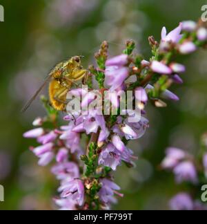 Fruit fly on common heather flowers - Stock Photo