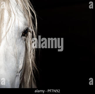 Horse Andalusian Stallion - Stock Photo