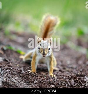 American Red Squirrel, (Tamiasciurus hudsonicus), Manitoba, Canada. - Stock Photo
