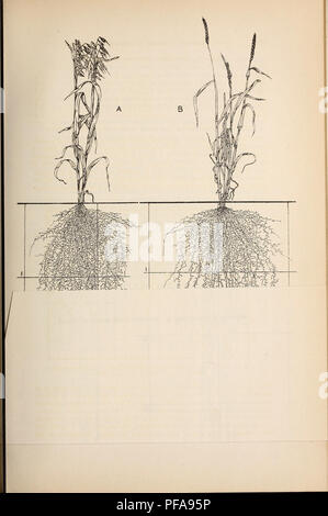 . Development and activities of roots of crop plants; a study in crop ecology. Roots (Botany); Plant ecology; Crops and climate. . Please note that these images are extracted from scanned page images that may have been digitally enhanced for readability - coloration and appearance of these illustrations may not perfectly resemble the original work.. Weaver, John E. (John Ernest), 1884-1966; Jean, Frank Covert, 1880- joint author; Crist, John W. , joint author. Washington, Carnegie Institution of Washington - Stock Photo