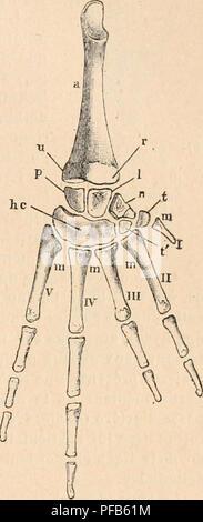 . Dictionnaire de physiologie. Physiology. GRENOUILLE. 125 Le carpe (fig. 27) comprend six os, disposés sur deux rangées. I.a première, la plus rapprochée de l'avant-bras, comprend, en commençant du côté interne : le pyramidal, l'os lunaire et l'os naviculaire. Le pyramidal (p) s'articule aveo la partie cubitale de l'os de l'avant-bras par son bord supérieur, avec l'os lunaire par son bord externe et avec l'os crochu,dont nous allons parler, par sa face inférieure. L'os lunaire {]) s'articule par sa face supérieure avec l'extrémilé radiale de l'os de l'avant-bras; par sa face infé - Stock Photo