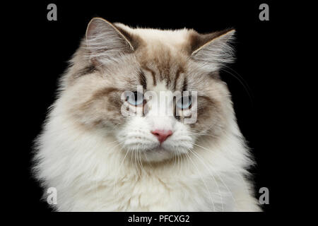 Close-up portrait of Funny Siberian cat with blue eyes looking in camera on isolated black background - Stock Photo