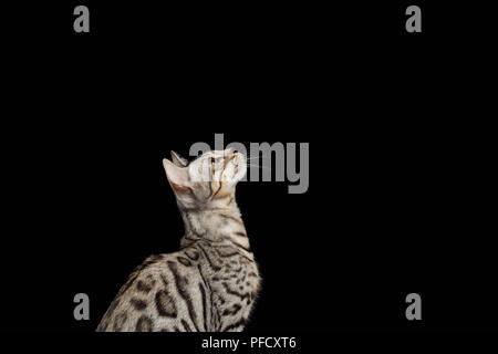 Bengal Kitty Sits and Looking Up on Black Background - Stock Photo