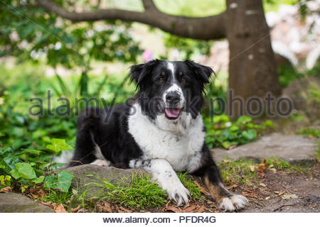 Black and white border collie mix dog lying down on grass in park - Stock Photo