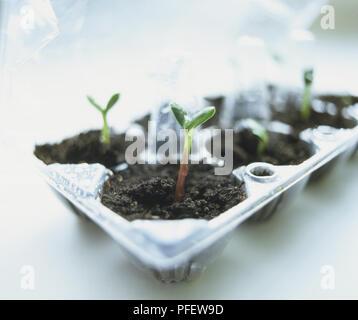 Helianthus annuus, Sunflower seedlings in wet soil in plastic egg carton - Stock Photo