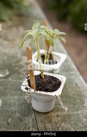 Helianthus annuus (Sunflower) seedlings in yoghurt pots on garden bench - Stock Photo