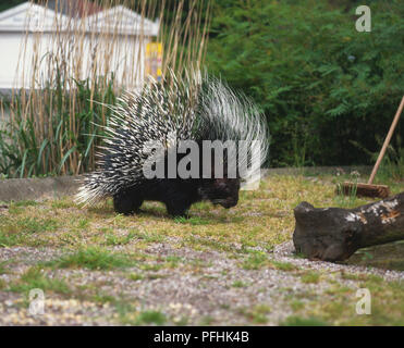 Crested Porcupine, Hystrix cristata, in garden next to broom, side view. - Stock Photo