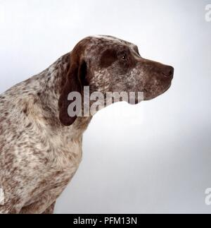 Braque Du Bourbonnais dog with head in profile - Stock Photo