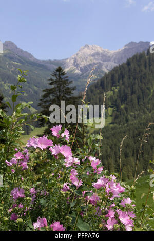 common mallow (Malva sylvestris) near Mittelberg, little Walser valley, Austria - Stock Photo