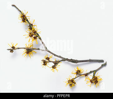 Hamamelis mollis (Chinese witch hazel), twigs with yellow flowers - Stock Photo