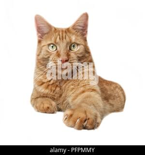 Curious ginger cat looking straight into the camera. Isdolated on white background. - Stock Photo