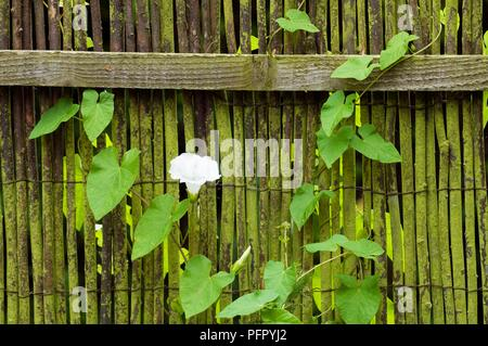 Convolvulus sp. (Bindweed) growing on old garden fence, with single white flower, close-up - Stock Photo