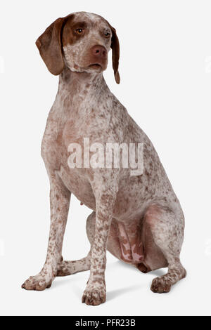 Braque du Bourbonnais (Bourbonnais Pointer, Bourbonnais Pointing Dog), seated - Stock Photo