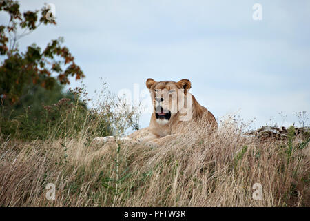 A young female lion rests in the warm sun and observes with interest, the visitors at Yorkshire Wildlife Park, Doncaster, South Yorkshire, UK. - Stock Photo