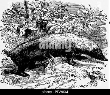 """. The popular natural history . Zoology. THE TELEDU. 85 like a badger in its hole ; at night it proceeds in search of its food, which consists of insects and other larva, and of worms of every kind. It is par- ticularly fond of the common lumbrici, or earth-worms, which abound in the fertile mould. These animals, agreeably to the information of the natives, live in pairs, and the female produces two or three young at a birth. """" The motions of the Mydaus are slow, and it is easily taken by the natives, who by no means fear it. During my abode on the Mountain Prahu, I engaged them to procur - Stock Photo"""