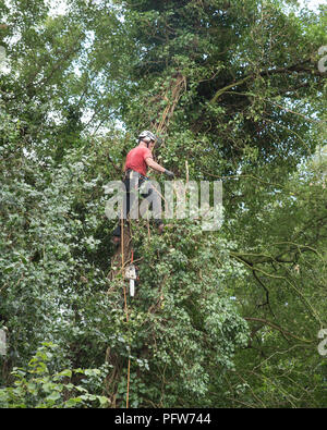 Male Tree Surgeon standing on a branch up a tall tree. - Stock Photo