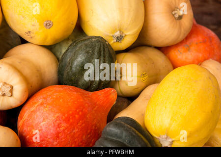 Hood River, Oregon, USA.  Variety of winter squash, including Acorn, Butternut, Kuri and Spagetti or Vegetable Squash. - Stock Photo