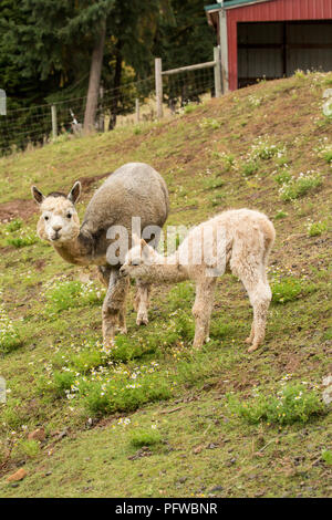 Hood River, Oregon, USA.  Mother and baby (cria) alpaca grazing in pasture in light rain. - Stock Photo