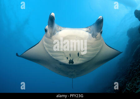 Pelagic manta ray (Manta birostris), Yap, Micronesia - Stock Photo