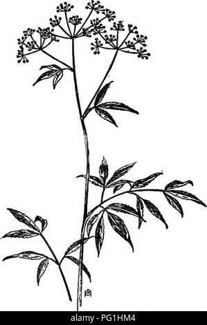 . A manual of weeds : with descriptions of all the most pernicious and troublesome plants in the United States and Canada, their habits of growth and distribution, with methods of control . Weeds. 302 UMBELLIEEBAE (PARSLEY FAMILY) Quite as poisonous as the preceding plant and probably the cause of more fatalities. Roots two to four inches long, thick, fleshy, tuberous, bunched in a cluster (fasciculated) at the swollen base of the stem. These are especially dangerous, for their taste is pleasantly aromatic, somewhat like that of its harmless relative, Sweet Cicely, for which they are sometimes - Stock Photo