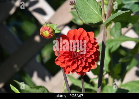 A picture of the Dahlia. Dahlia is a genus of bushy, tuberous, herbaceous perennial plants native to Mexico - Stock Photo