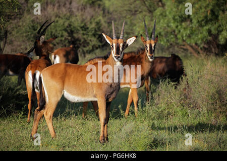 A family group of sable antelopes (Hippotragus niger) in natural habitat, South Africa - Stock Photo