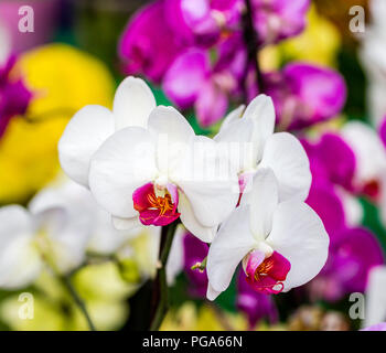 Close-up of beautiful white Phalaenopsis orchid with yellow red center - Stock Photo