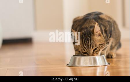 Beautiful feline cat eating on a metal bowl. Cute domestic animal. - Stock Photo