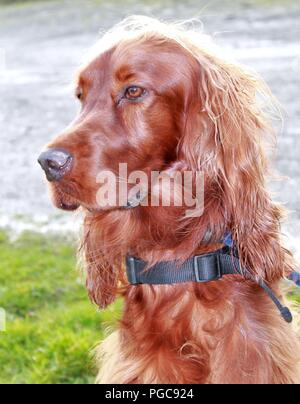 Head and Shoulders portrait of a pedigree Irish Setter dog,a dog known for its elegant looks and athletic demeanor. - Stock Photo