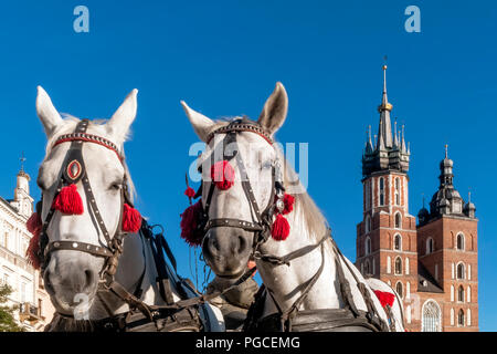 Pair of white horses with the Saint Mary's Basilica in the background in the historic center of Krakow, Poland on a beautiful sunny day - Stock Photo