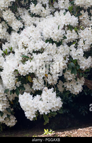 Close up of a white Rhododendron shrub  in full bloom - Stock Photo